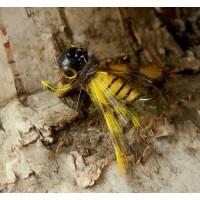 Jiguri insecta Stepanow